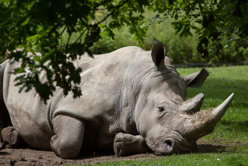 Southern white rhinoceros (Ceratotherium simum simum). Wildlife animal stock photography