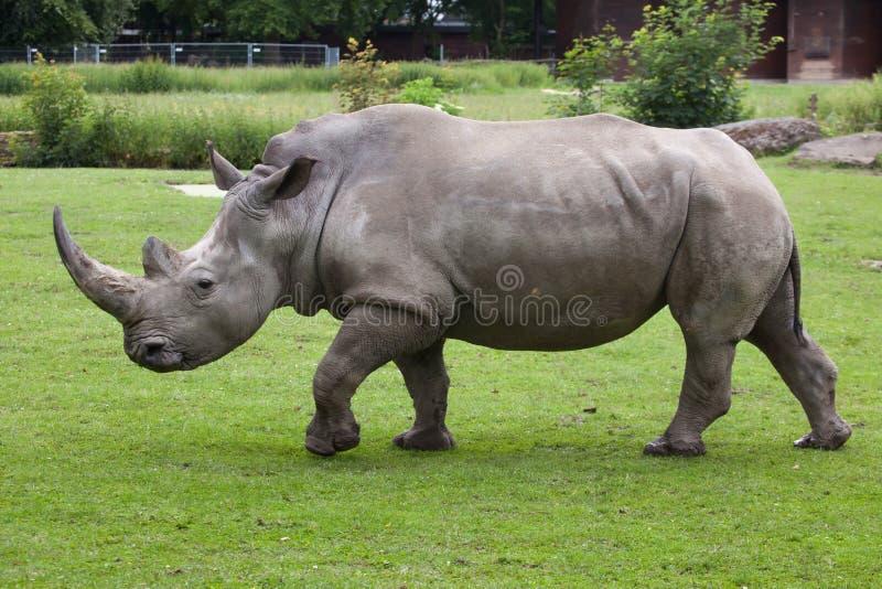 Southern white rhinoceros (Ceratotherium simum simum). Wildlife animal stock photos