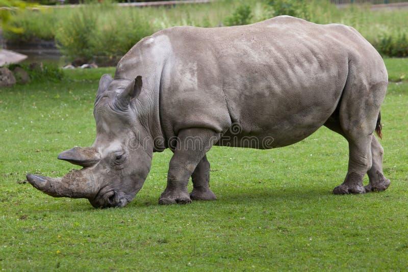 Southern white rhinoceros (Ceratotherium simum simum). royalty free stock images