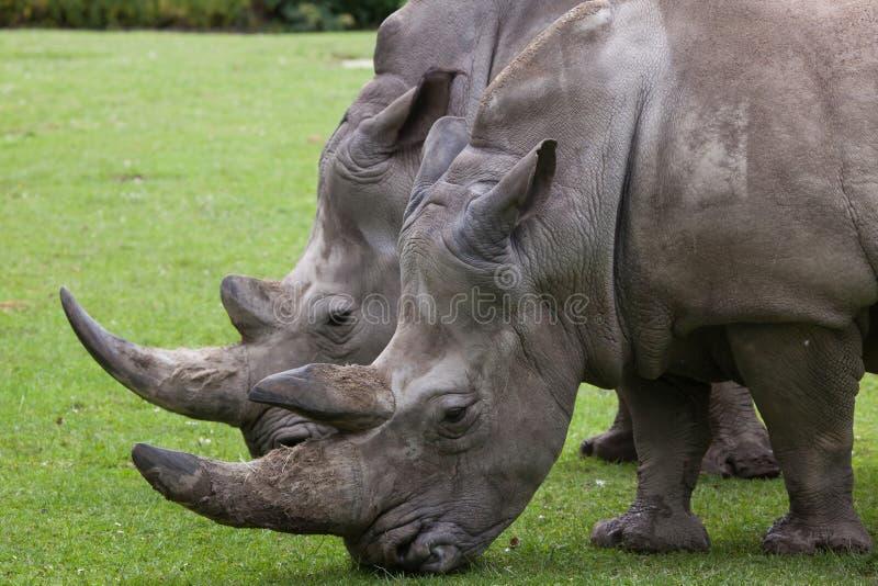 Southern white rhinoceros (Ceratotherium simum simum). royalty free stock photos