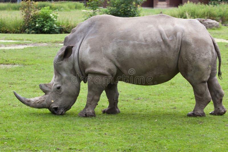 Southern white rhinoceros (Ceratotherium simum simum). Wildlife animal stock images