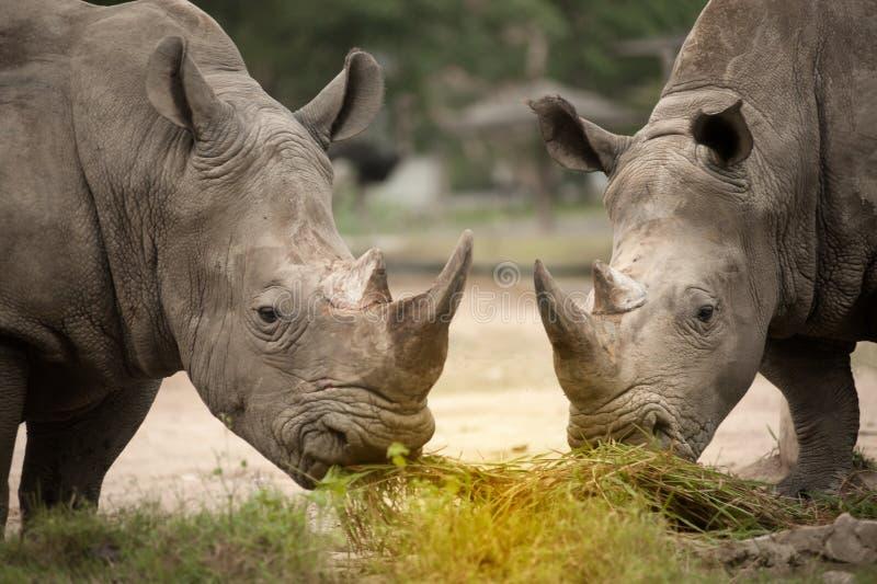 Southern white rhinoceros Ceratotherium simum simum. Wildlife animal royalty free stock photography