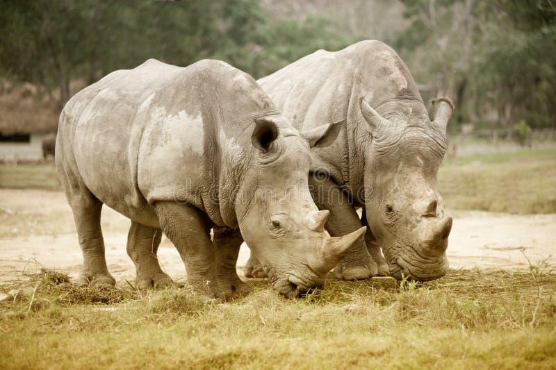 Southern white rhinoceros Ceratotherium simum simum. Wildlife animal stock images