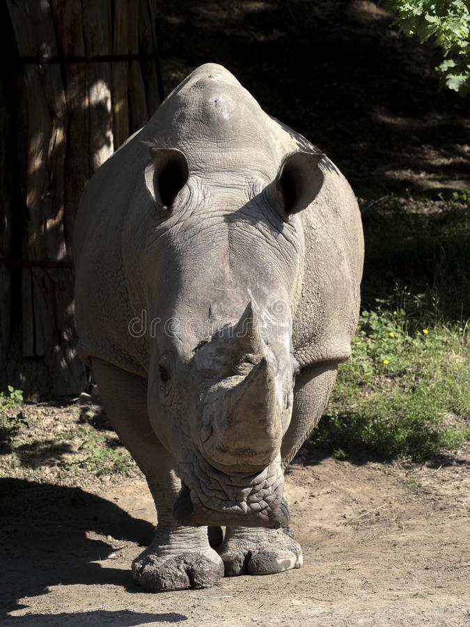 Southern White Rhinoceros, Ceratotherium simum simum, is threatened with extinction. The Southern White Rhinoceros, Ceratotherium simum simum, is threatened with stock image
