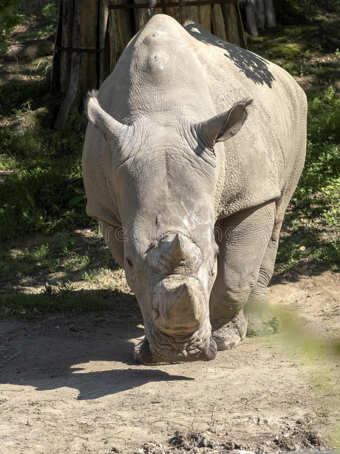 Southern White Rhinoceros, Ceratotherium simum simum, is threatened with extinction. The Southern White Rhinoceros, Ceratotherium simum simum, is threatened with royalty free stock photography