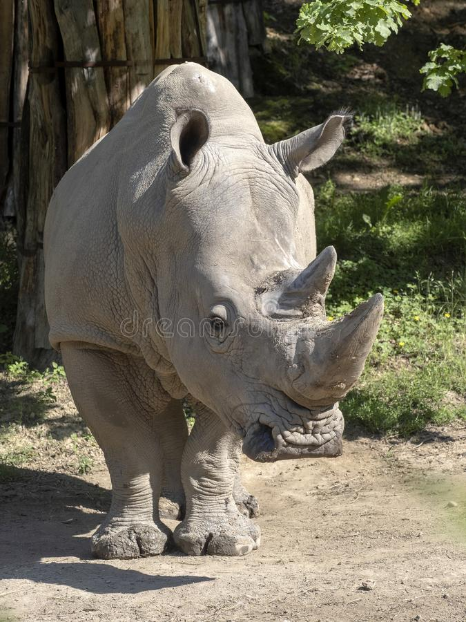 Southern White Rhinoceros, Ceratotherium simum simum, is threatened with extinction. The Southern White Rhinoceros, Ceratotherium simum simum, is threatened with stock photos