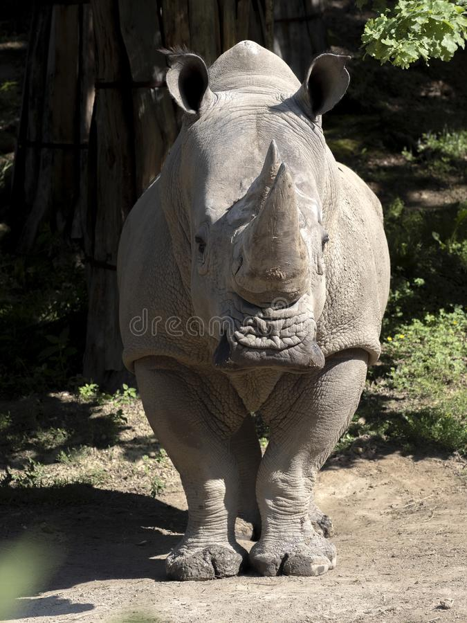 Southern White Rhinoceros, Ceratotherium simum simum, is threatened with extinction. The Southern White Rhinoceros, Ceratotherium simum simum, is threatened with royalty free stock photo