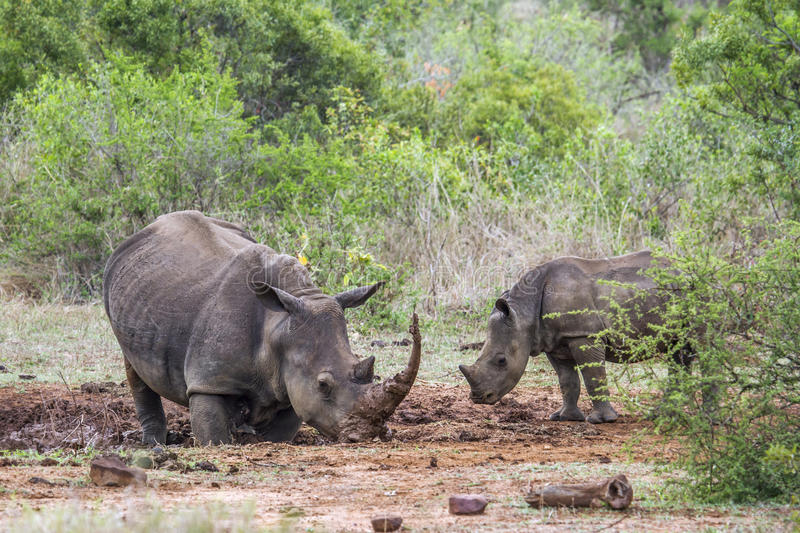Southern white rhinoceros in Kruger National park, South Africa. Specie Ceratotherium simum simum family of Rhinocerotidae, mother and baby Southern white royalty free stock photo