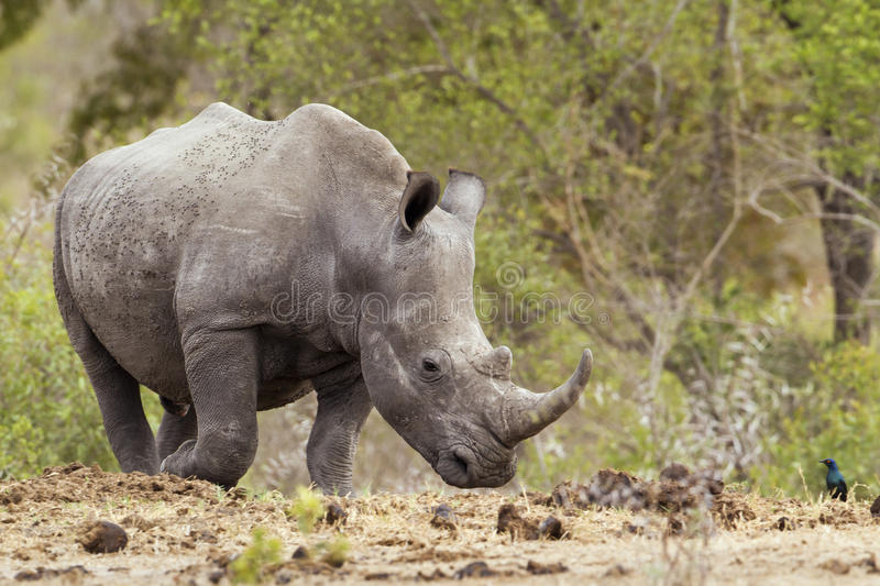 Southern white rhinoceros in Kruger National park. Specie Ceratotherium simum simum family of Rhinocerotidae, Southern white rhinoceros in Kruger National park royalty free stock photo