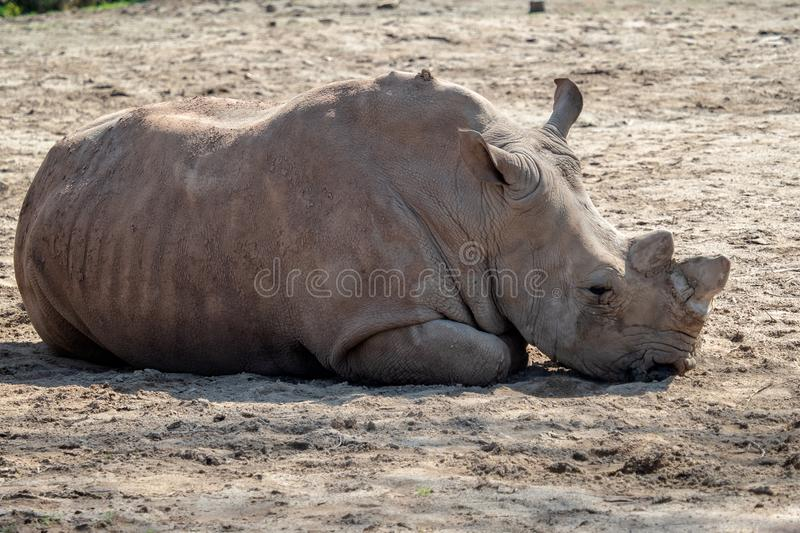 Southern White Rhinoceros lying down in the sand stock image