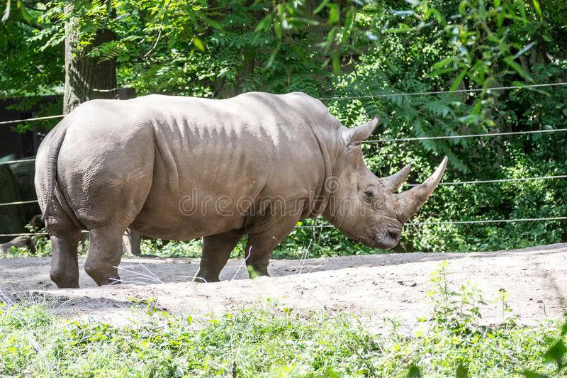 Southern white rhinoceros royalty free stock images