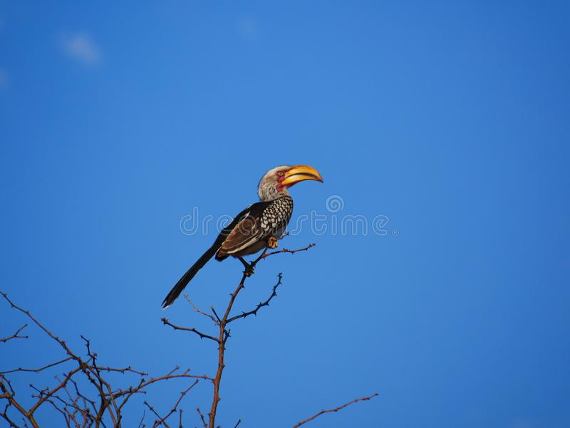Southern Yellow-billed hornbill, Kruger National Park, South Africa royalty free stock photo