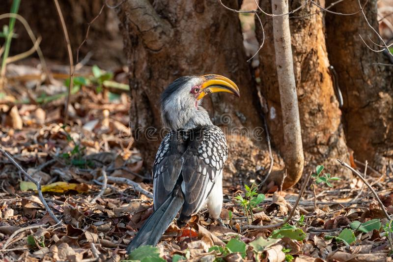 Southern Yellow-Billed Hornbill (Tockus leucomelas. ) taken in South Africa, bird, birds, bucerotidae, hornbills, nature, animal, animals, avian royalty free stock photos