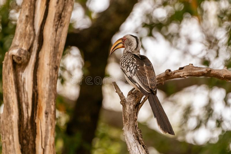 Southern Yellow-Billed Hornbill (Tockus leucomelas. ) taken in South Africa, bird, birds, bucerotidae, hornbills, nature, animal, animals, avian royalty free stock image