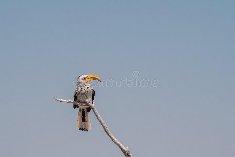 Southern Yellow Billing Hornbill Bird, Etosha NP, Namibië stock foto's