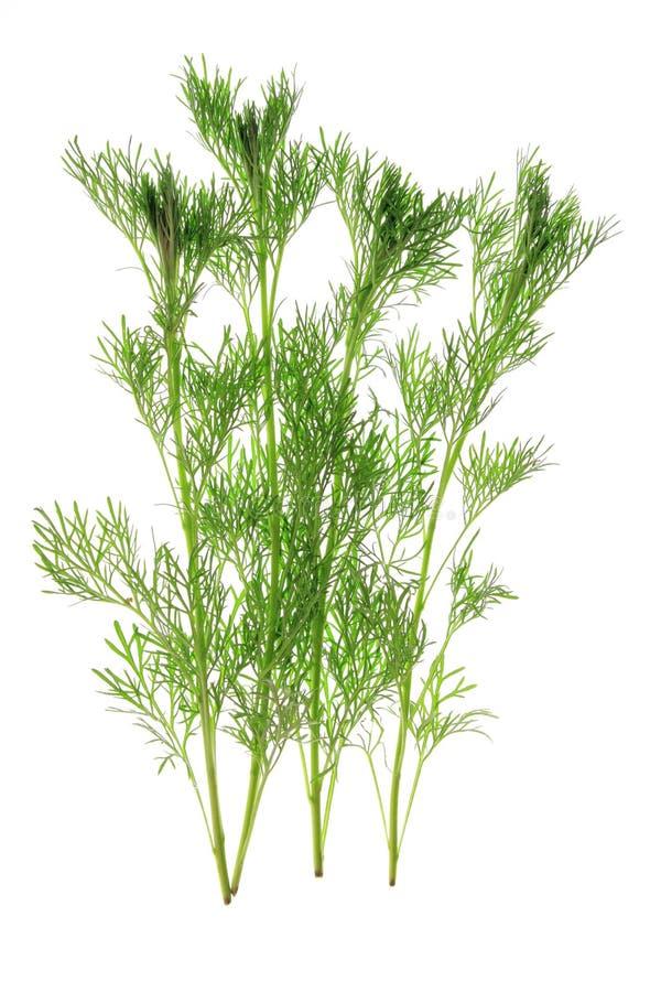Southernwood (Artemisia abrotanum) zdjęcia stock