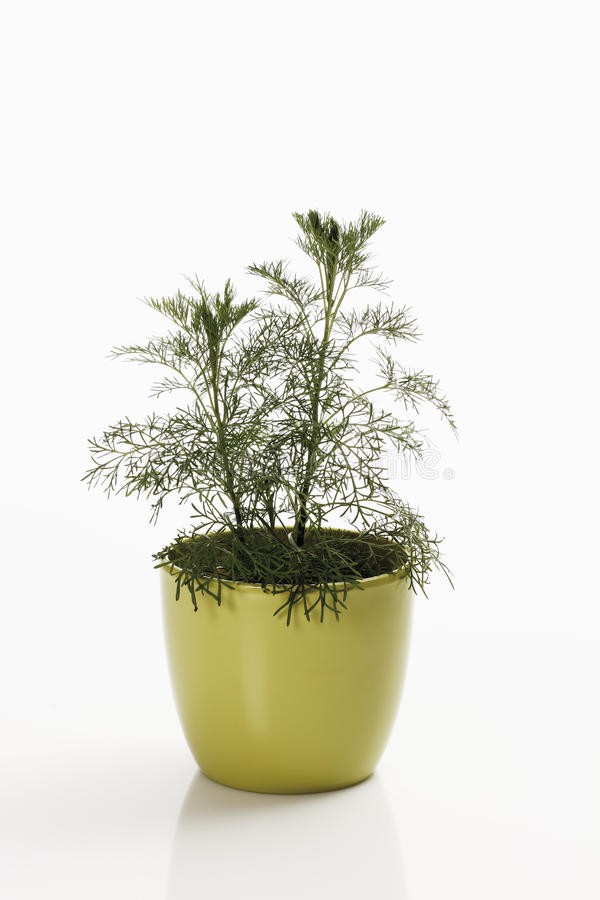 Southernwood (Artemisia abrotanum) zdjęcie royalty free