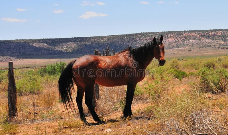 Southwest Landscape with Horses. Grazing along the roadside. Chestnut colored horse with black mane and tail. Native American. Southwestern scenery. Barbed wire royalty free stock image
