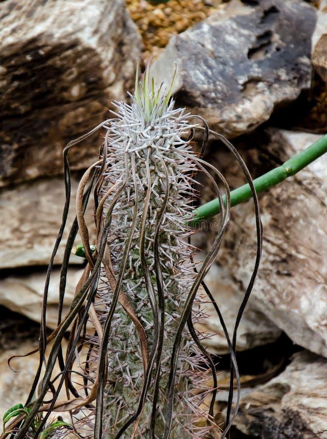 Download Southwest Madagascar Cactus Stock Image - Image of succulent, nature: 30950255