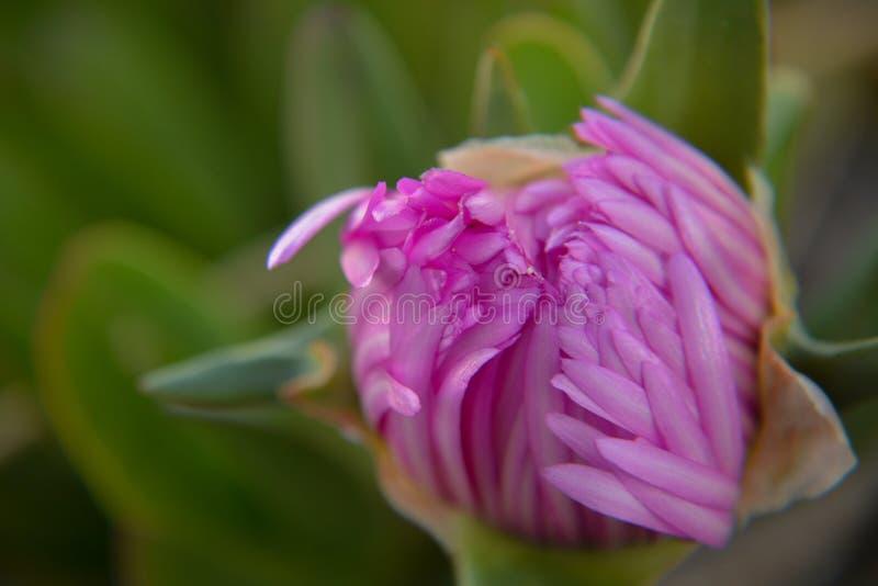 Sova blomman royaltyfri fotografi