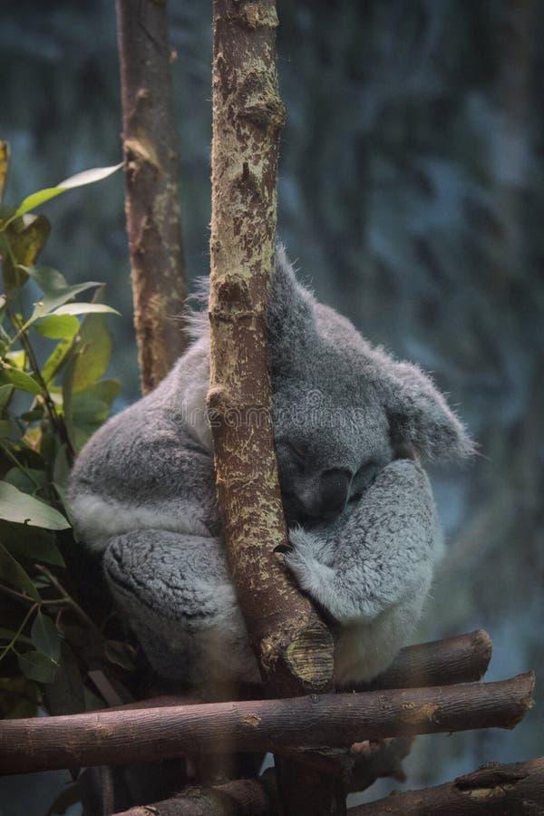 Sova den australiska koalan i mörkret royaltyfria foton