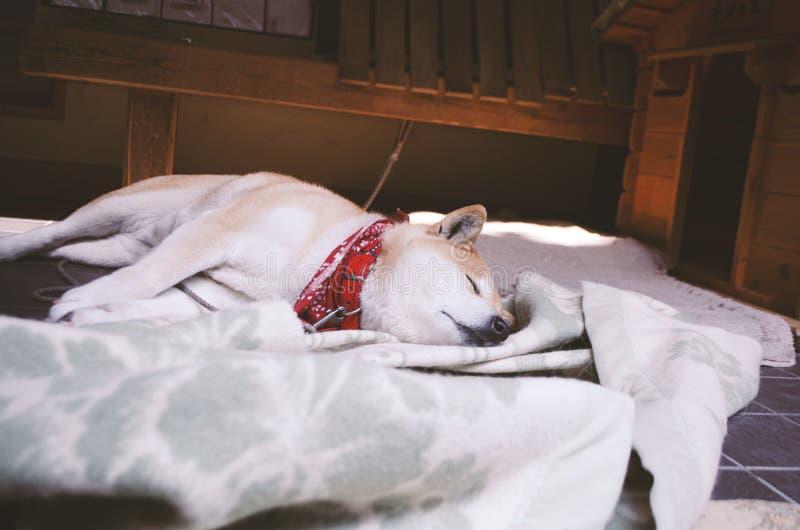 Sova den japanska Akita hunden i det Yoshida berget Nara arkivfoto