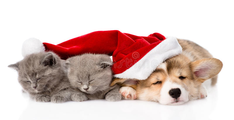Sova den Pembroke Welsh Corgi valphunden med den santa hatten och kattunge två Isolerat på vit fotografering för bildbyråer