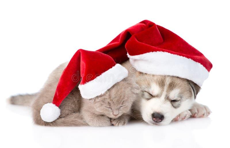 sova den skotska kattungen och den Siberian skrovliga valpen med den santa hatten isolerat royaltyfria foton