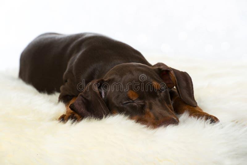 Sova den tyska pinschervalpen på en fårpäls royaltyfri bild