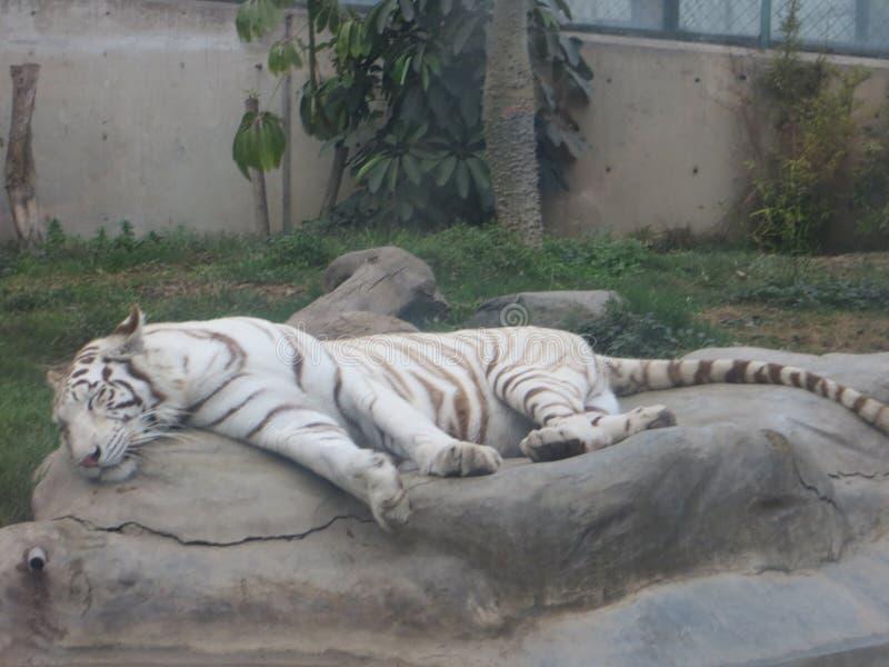 Sova för Bengal tiger royaltyfria bilder