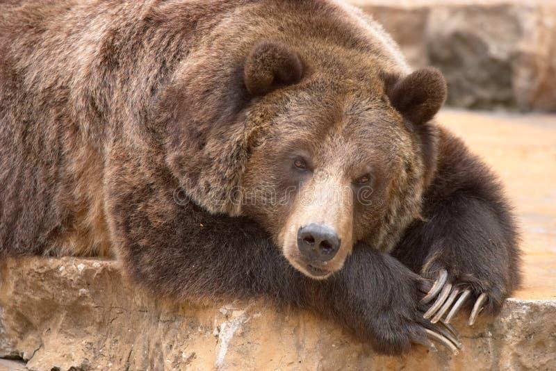 sova för björn arkivfoton