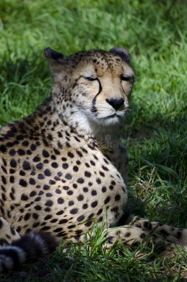 sova för cheetah royaltyfri fotografi