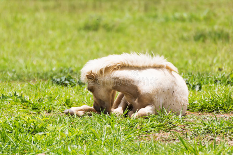 Sova för häst arkivfoton