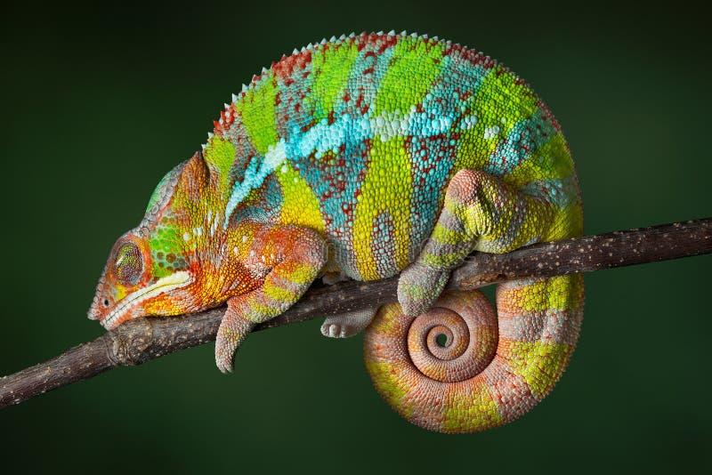 sova för kameleont fotografering för bildbyråer