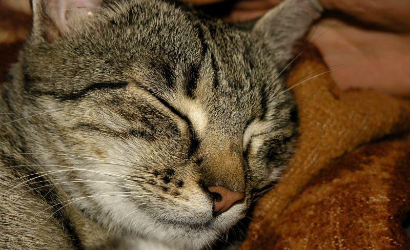 Download Sova för katt fotografering för bildbyråer. Bild av huvud - 278871