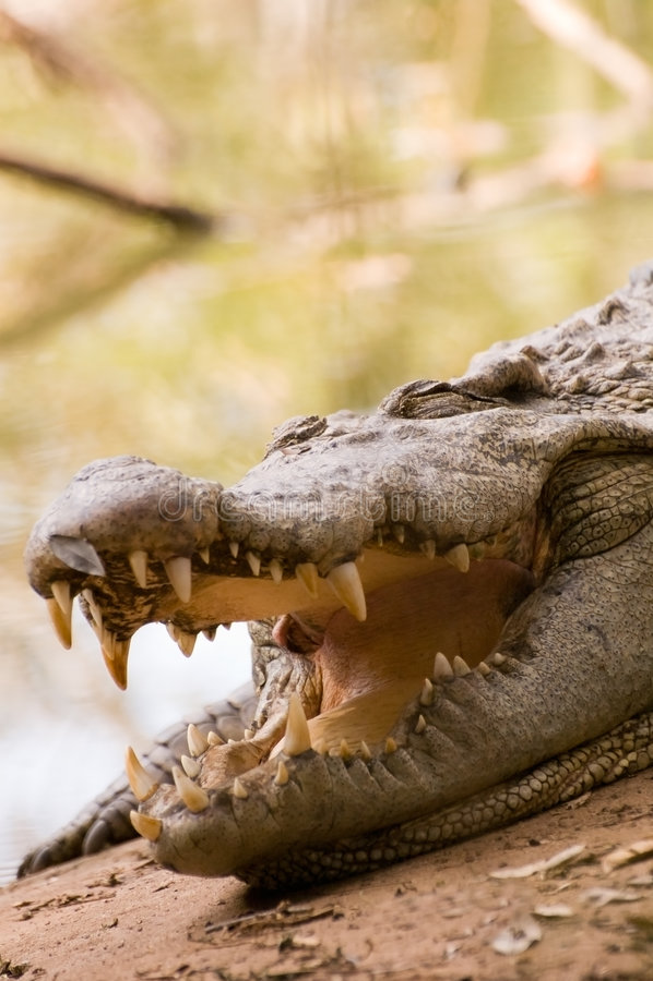 sova för krokodil royaltyfri foto