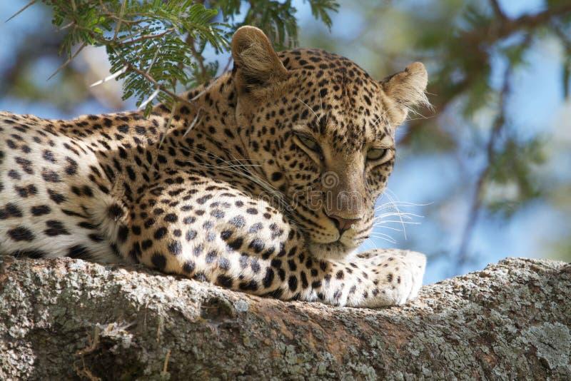 sova för leopard royaltyfri bild
