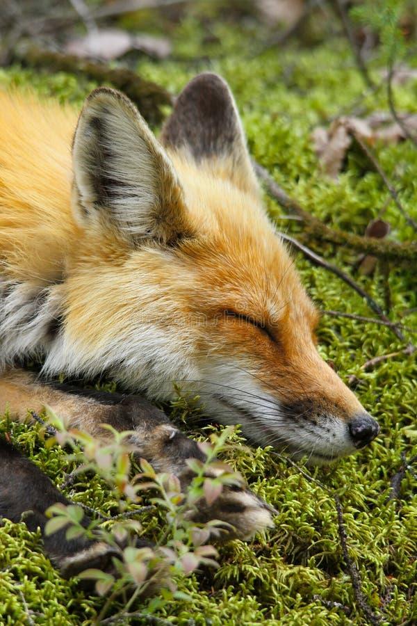 Sova för röd räv royaltyfri foto