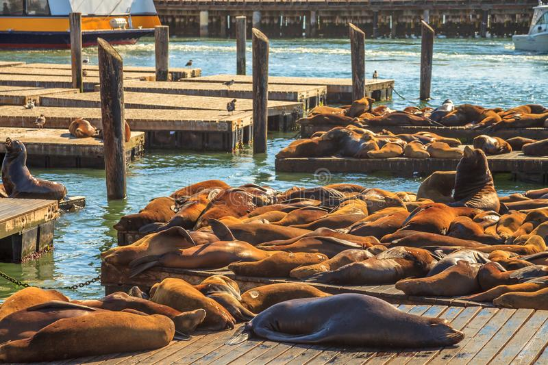 Sova för sjölejon fotografering för bildbyråer