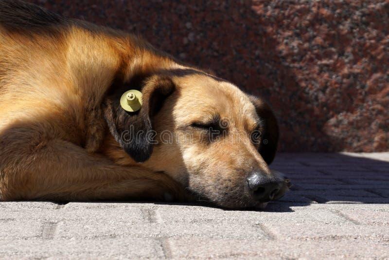 Sova hunden med den gula öraIDetiketten som hjälpmedlet steriliserade royaltyfri bild