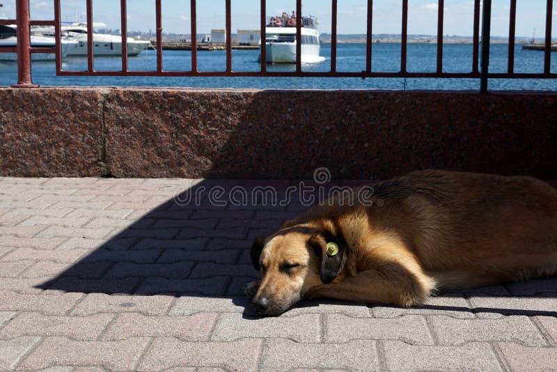 Sova hunden på hamnstaden med den gula öraIDetiketten som hjälpmedlet steriliserade royaltyfria foton