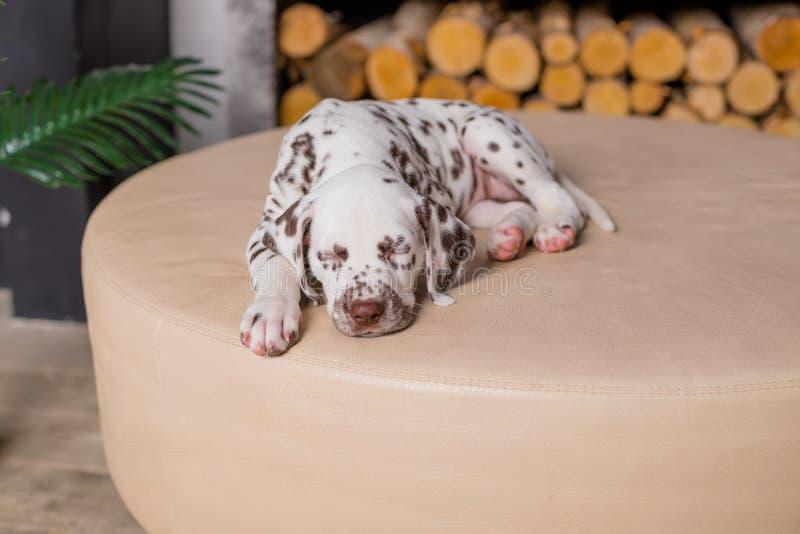 Sova hunden på säng Älsklings- hemmastatt Gullig stående av den dalmatian valpen 8 gamla veckor Liten dalmatian valp kopiera avst arkivfoton