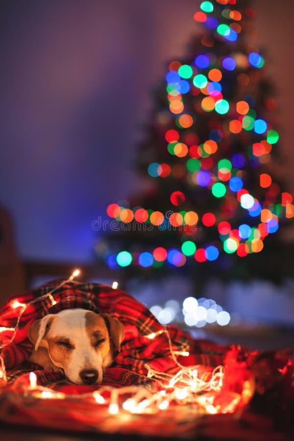 Sova hunden under julträd arkivbild