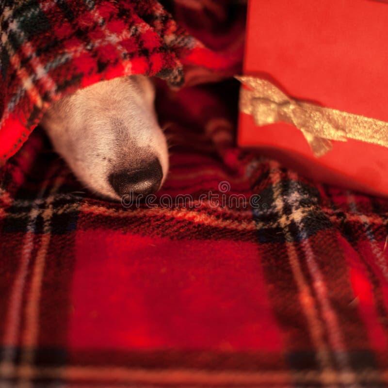 Sova hunden under plädet arkivfoton
