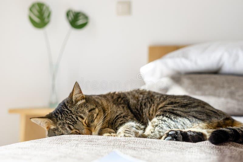 Sova katten som ligger på sängen i sovrum arkivfoton
