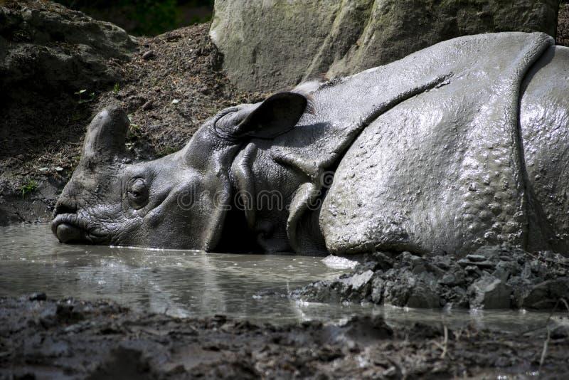 Sova noshörning i gyttja royaltyfria foton