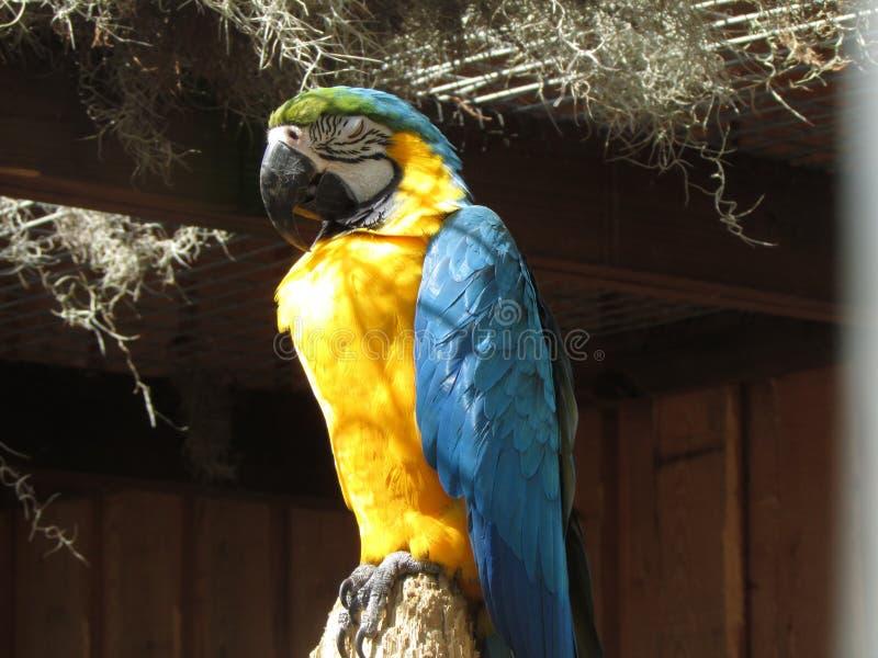 Sova papegojan royaltyfri bild