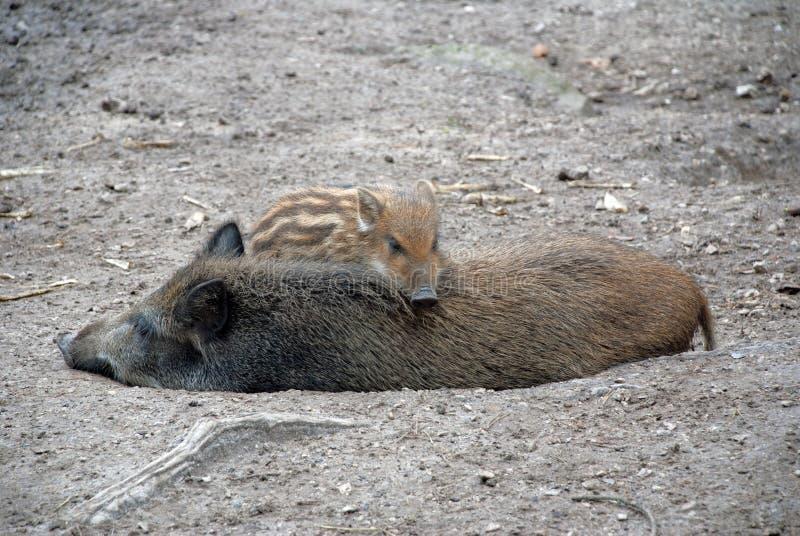 Sova pigs royaltyfria bilder