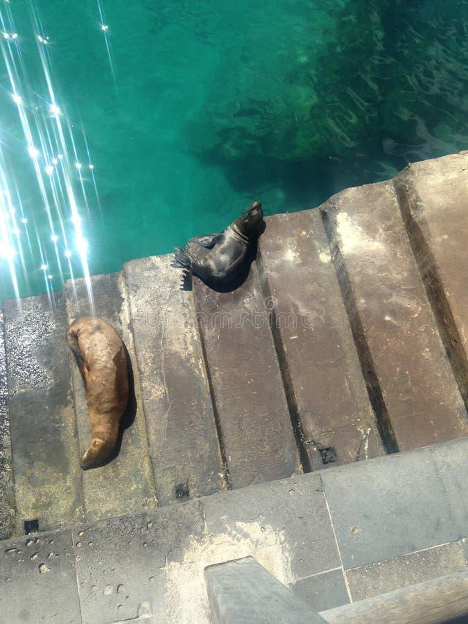 Sova sjölejon för Galà ¡ pagos royaltyfri foto