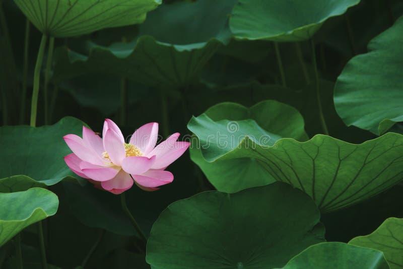 Sova skönhet gilla lotusblomma arkivbilder